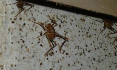 crawl-space-camel-cricket.jpg