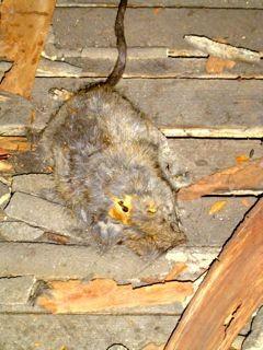 Dead rat in the attic